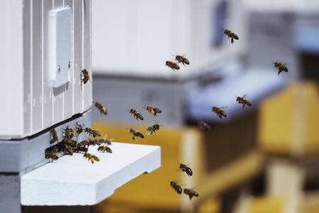 Honey bees swarming near bee hives in an apiary Reklamní fotografie