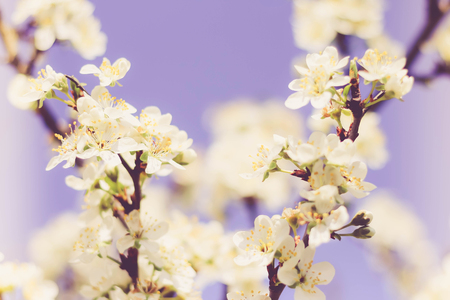 Plum blossom flowers with a creamy bokeh background