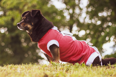 Closeup of a cute domestic dog wearing a protective, post-surgery outfit