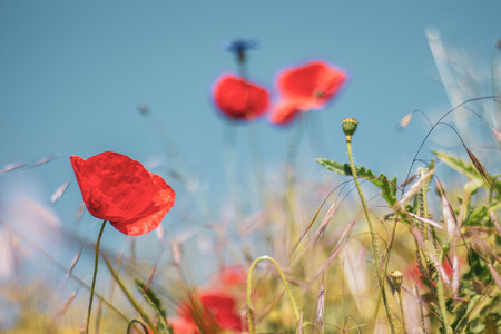 Poppy flowers in a meadow with a creamy bokeh background