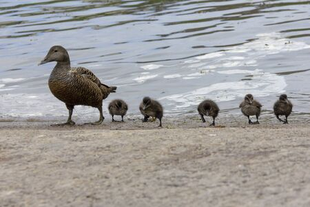 duckling with young Standard-Bild