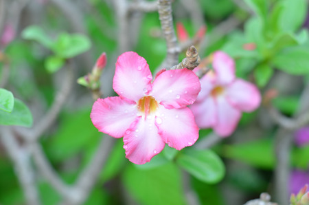 Pink azalea Bignonia flowers photo