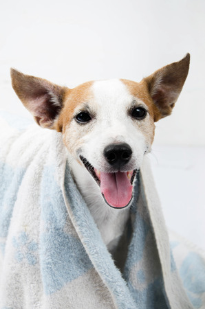 russel: Jack russel portrait with towel on white background Stock Photo