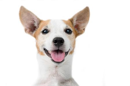 Jack russel dog portrait on white background Foto de archivo