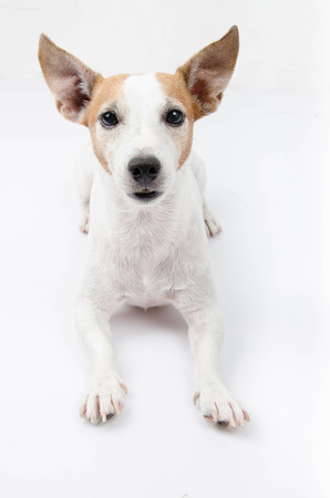 jack russel: Jack russel portrait on white background,