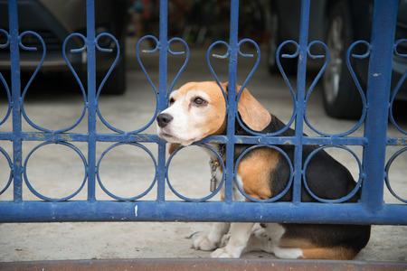 Beagle hond die de eigenaar wacht thuis Stockfoto