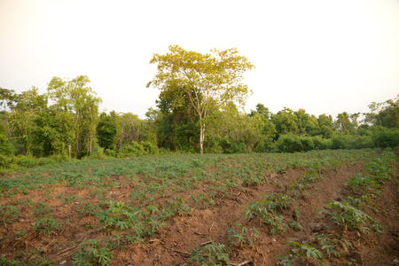 glutamate: Close up of cassava farm country side industry Stock Photo