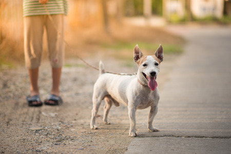 Little boy walking outside with dog jack russel summer time  Stock Photo