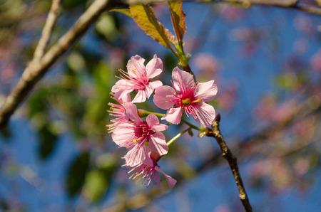 Cherry Blossom at Chiang Mai,Thailand