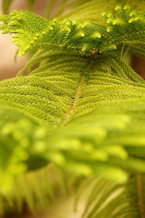 incurved: Pine tree leaf