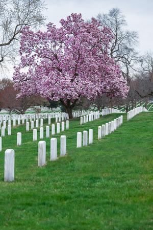 Arlington National Cemetery with beautiful Cherry Blossom and Gravestones, Washington DC, USA Stock Photo