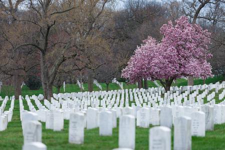 Arlington National Cemetery with beautiful Cherry Blossom and Gravestones, Washington DC, USA Editorial