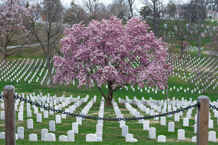 Arlington National Cemetery with beautiful Cherry Blossom and Gravestones, Washington DC, USA Standard-Bild - 105643852