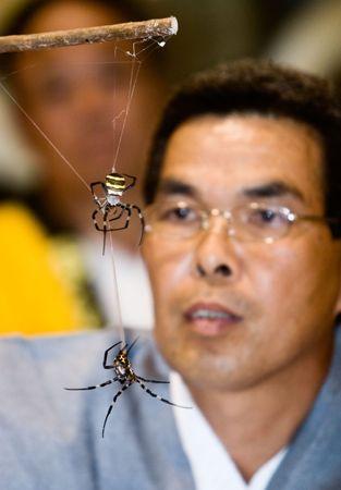 Kajiki, Kagoshima prefecture, Japan, June 15, 2008, A referee watches two St. Andrews Cross spiders fighting at the Kajiki kumo gassen (spider-fight) held each June in Kajiki, Kagoshima, Japan. Editorial