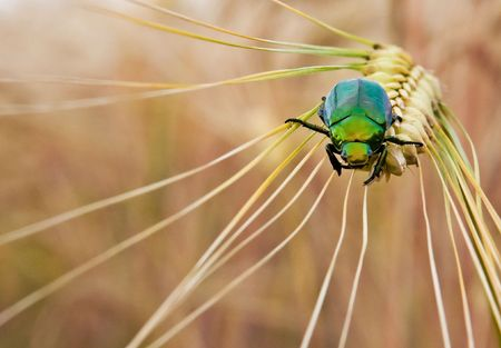A green Japanese beetle on a wheat stalk
