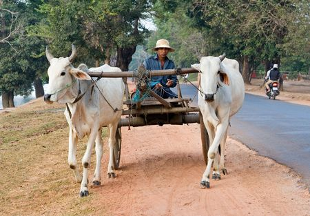 Cambodia, December 29, 2007. Two white water buffalo pulling a cart and driver along the side of the road. Editorial