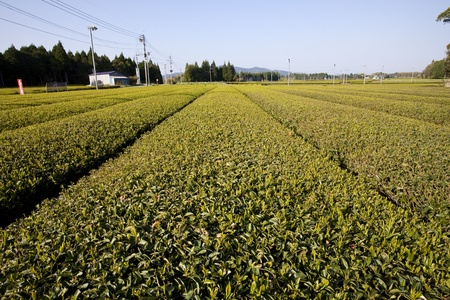 Japanese tea fields with fans on poles to deter frost. Stock Photo