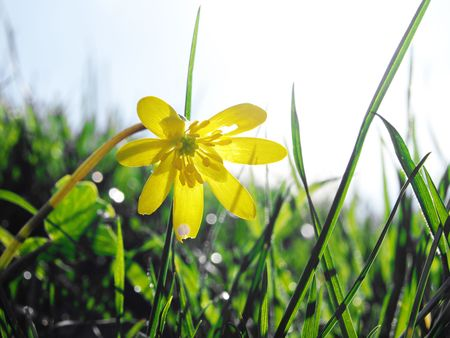 Close up of a spring buttercup flower photo