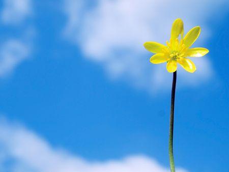 buttercup flower: Close up of a spring buttercup flower