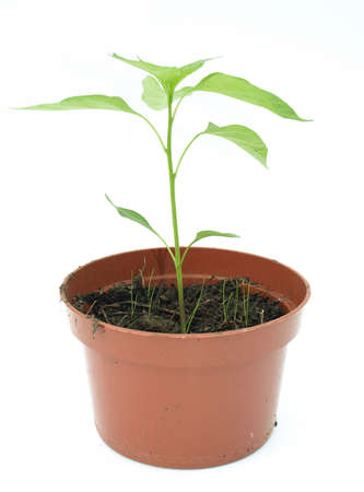 Pot plant against a white background Stock Photo - 3084883