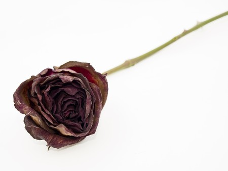dried flower arrangement: Old dried red rose isolated against a white background Stock Photo