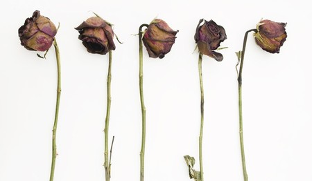 Row of 5 old dried red roses isolated against a white background photo