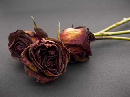 Old dried red roses against a dark background photo