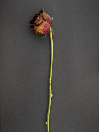 Old dried rose against a dark background Stock Photo - 4432132