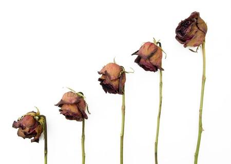 dode bladeren: Rij van 5 oude gedroogde rode rozen tegen een donkere achtergrond Stockfoto
