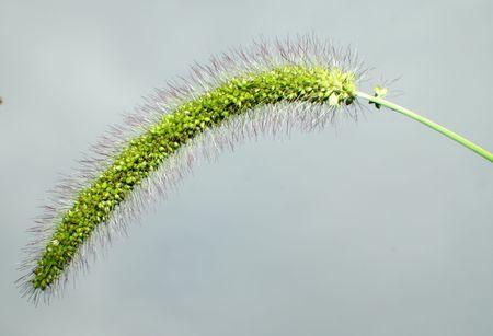 Close up of a green foxtail Banco de Imagens