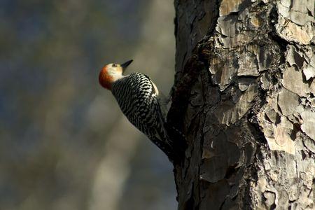 Redheaded Woodpecker Banco de Imagens
