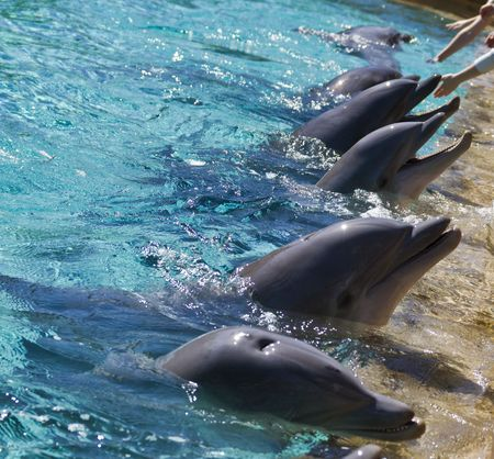 eagerly: Dolphins eagerly await during feeding time at the park