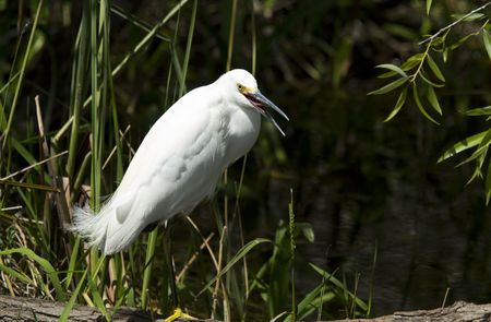 squawk: A snowy egret squawks at the photographer in the mangrove swamp Stock Photo