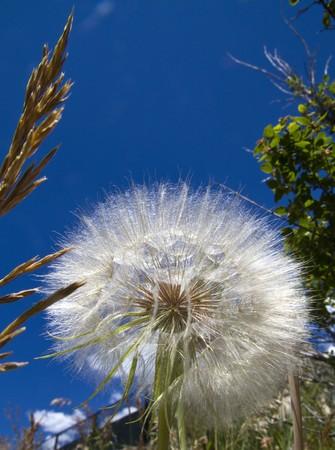 extend: Florets extend out on an enlarged dandelion plant