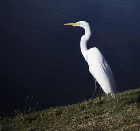 White Heron Banco de Imagens