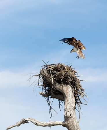 osprey: An osprey wings in for a landing at its nest