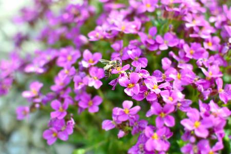 honeybee: Honeybee on flowers