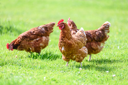 Hens on traditional free range poultry organic farm grazing on the grass