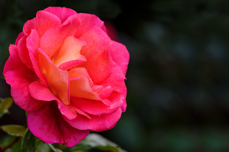 Beautifully blooming pink rose against a blurred background of the garden in close-up (with copy space)