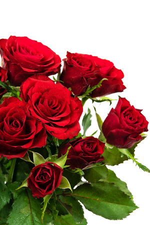 Blooming red roses with water drops isolated on a white background in close-up