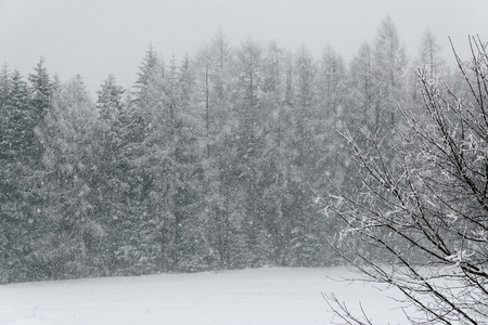 Forest landscape during winter and snow weather.