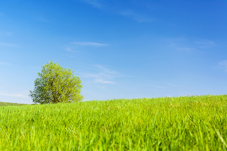 Spring agricultural landscape - a lonely tree in a green meadow on a blue sky background.