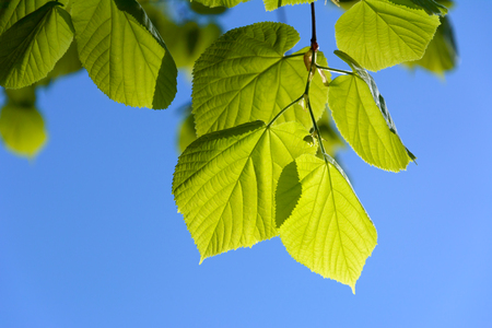 Young green leaves on a blue sky background in close-up