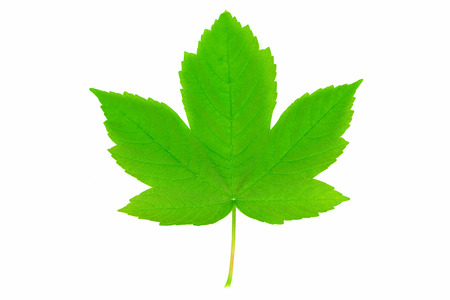 New life and spring time concept - perfect green sycamore maple leaf in close-up (high details)