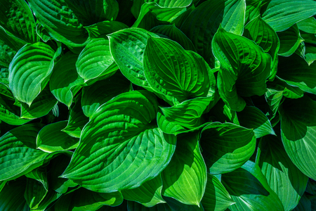 Natural abstract background with green leaves in close-up.