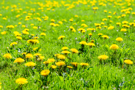 Beautiful spring background - green meadow full of blooming dandelion flowers in deep sunshine. Stock Photo