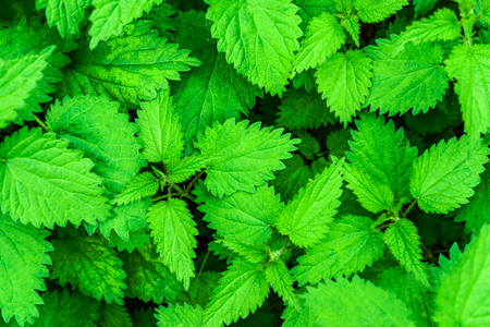 Natural herbal medicine background -  bunch of common nettle (Urtica dioica) in close-up