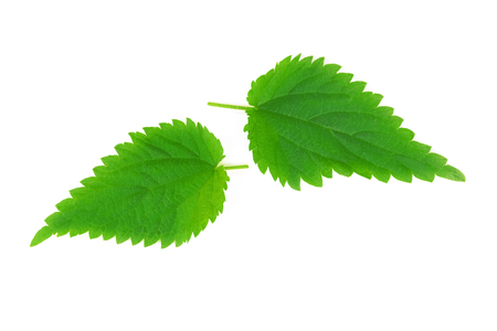 Stinging nettle leaves (Urtica Dioica) isolated on a white background in close-up