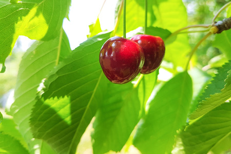 Ripe and sweet cherries on a branch on a background of fresh and green leaves on a sunny day