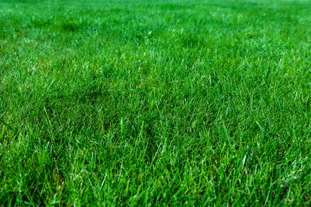 Green abstract background - natural grass lawn in close-up ( high details)